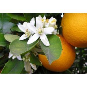 Narancsvirág víz 100 ml