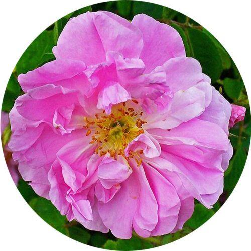 Törökországi rózsa illóolaj